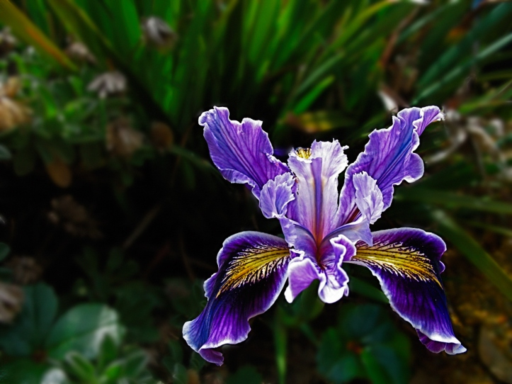 purple-iris-srgb